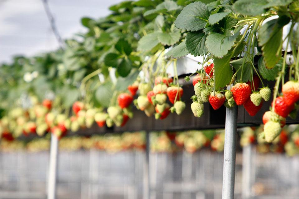 苺は、55,000本も栽培
